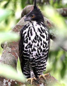 The Blyth's hawk-eagle (Nisaetus alboniger) (earlier treated as Spizaetus) is a medium-sized bird of prey. Like all eagles, it is in the family Accipitridae.