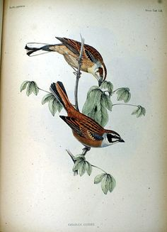 Meadow Buntings, from Fauna Japonica, Illustrations of the birds observed in Japan by Dutch travelers, Philipp Franz von Siebold, 1842.