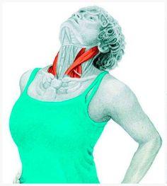 Estas Ilustraciones Explican Qué Músculos Estás Estirando