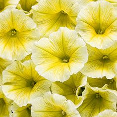"""Supertunia® Limoncello has soft yellow blooms on strong branches. Add it to the landscape or your favorite patio container. Will reach 15"""" in height and up to 28"""" in width, best in full sun."""