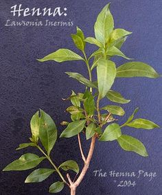 11 Best Lawsonia Inermis The Henna Plant Images Henna Plant