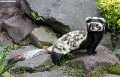 Looks like a ferret in an awesome Halloween costume! Marbeled Polecat