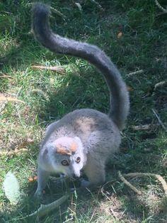 Lemur. Couronne