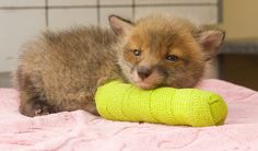 Fox cub in a cast. His life saved by people who aren't apathetic to animal suffering. God bless those people.