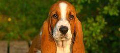 Familia Basset Hound: Basset Hound – Um cão conquistador de coraçôes