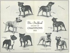 Breed Standard of Northern Ireland Staffordshire Bull Terrier Club-1999