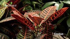 Comment choisir sa plante d'intérieur ? - Jardinerie Truffaut TV Ficus, Yucca, Comment Planter, Pot Plante, Plant Leaves, Flora, Plants, Tv, Youtube
