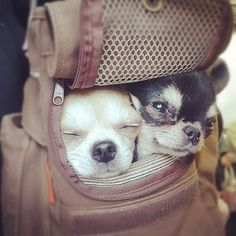 Two peas in a pod [Canine Cuteness] #chihuahuas