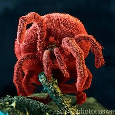 "Velvet Mites ~ Small predatory arachnids that live in the upper layers of soil. ~ Mik's Pics ""Arachnids and Insects l"" board Velvet Mite, Aliens, Electron Microscope Images, Micro Photography, Insect Photography, Science Images, Spider Mites, Fractal, Soil Layers"