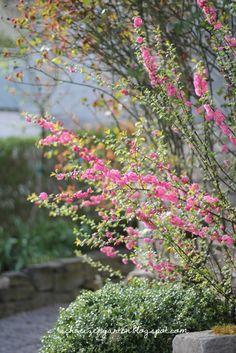 Prunus+triloba+Mandelb%C3%A4umchen+Fr%C3%BChling+kleine+r%C3%B6schen+pink+Spring+Kleinstrauch+EinSchweizer+Garten+Blog+%284%29.JPG (427×640)