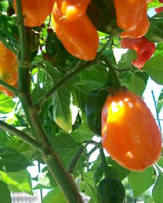 SALE! Orange Habanero chilli seeds £1.50 #chilli #seeds http://www.bitcoinseedstore.com/chilli-seeds/orange-habanero-chilli-10-pk.html