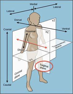 Fitness Vocabulary: sagittal plane/anatomical planes