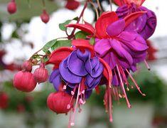 fuchsia. We saw these in Leavenworth, Washington.  So unusual and beautiful.