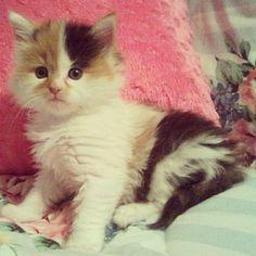 Shoutout to the #kittensofinstagram kitten of the day @loreliluvscats ❤ #kitten #cute #adorable #sweet #little #baby #cat #pet #FF #cute #dogs
