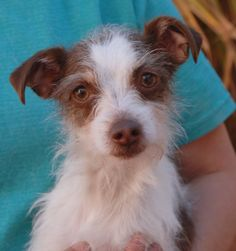 Lucy is a tiny, 7-pound lovebug who loves gentle people.  She is an affectionate Toy mix, 1 year young, a spayed girl, great with other dogs, debuting for adoption today at Nevada SPCA (www.nevadaspca.org).  It breaks our hearts that if you raise your hand too quickly Lucy flinches in fear that you will hit her.  Please help us find this little angel a responsible, stable, forever home.