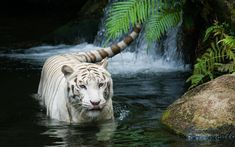 Animal Wallpapers With Tigers The Largest Cat Species HD Wallpaper A Tiger In Grass Together Lion
