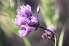 Wildflower along Santiago Canyon Road, CA2011