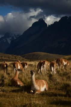 Guanacos in Patagonia - Chile