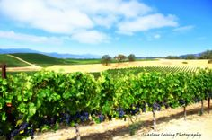 Napa Valley California wine grapes bar by CharleneLeisingPhoto, $10.00