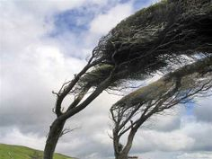 Growing up in wyoming i thought this was a normal tree Sous Le Vent, Blowin' In The Wind, Blown Away, Windy Day, Kids Events, In The Tree, Water, Outdoor, Memorie