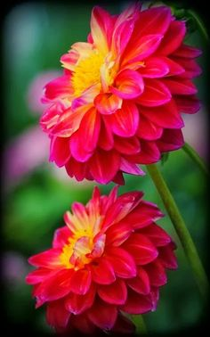 Dahlias Flowers.....my grandparents house in Iran has paper plate sized ones...my favorite.