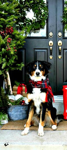 Border collie with Christmas scarf! Tartan Christmas, Christmas Dog, Christmas Photos, Christmas Cards, Merry Christmas, Aussie Christmas, Country Christmas, Dog Photos, Dog Pictures