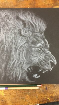 White colored pencil on black paper of a lion. Sam Schoenborn wildlife art.