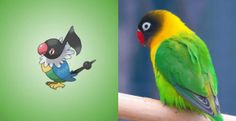 Chatots are pretty much yellow collared lovebirds - Pokemons