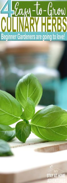 Beginner gardener? Want to grow something green but are not sure of what to grow? How about these 4 easy to grow culinary herbs that are ideal for beginners! Learn how you can save money and grow these herbs even if you don't have enough space.