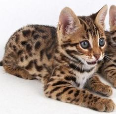Exquisite F1 GENERATION BENGAL KITTEN #SavannahCat