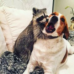 chien raton laveur pumpink the racoon Animals And Pets, Funny Animals, Cute Animals, Pet Raccoon, Unlikely Friends, Amor Animal, Wild Creatures, Nassau, Guinea Pigs