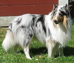 Rough Coat Blue Merle Collie. I WANT THIS DOG!