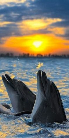 Dolphins Playing At The Sunset