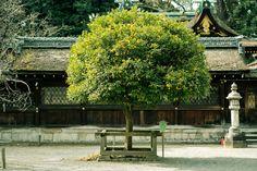 平野神社 / Hirano Shirine by SUPERIDOL on 500px