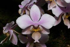 Phalaenopsis Anthura Philadelphia