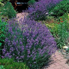 A Fragrant and Tough Blooming Plant - Phenomenal™ Lavender is tough, and can survive in conditions that other lavender plants can't. Extreme heat and cold pose no threats!  They even grow extremely well in containers and can be placed on your porch or patio. Their purple blooms and compact size makes them the perfect decoration...