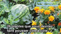 Growing veggies and flowers together in the same garden beds can boost your yield and keep your crops healthy. Here are tips to get your companion planting started. Organic Vegetables, Growing Vegetables, Growing Plants, Garden Pests, Vegetable Garden, Permaculture, Gardening For Beginners, Gardening Tips, Companion Gardening