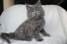 Kleine blauwe Lex - Maine coon kitten