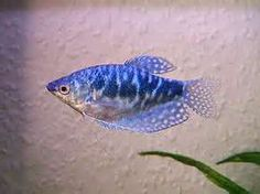 gourami. have two of these guys.