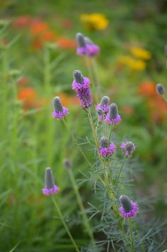 Dalea purpurea - Purple Prairie clover ... native & favourite of Piet Oudolf ... leguminous: catches & feeds nitrogen into the soil - this is part of permaculture guild system, always included as part of the 'Feeding the Soil' guild ... should be native to SK (according to range map)