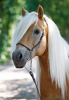 Riding Accessories and Equestrian Products Most Beautiful Horses, Pretty Horses, Animals Beautiful, Cute Animals, Horse Photos, Horse Pictures, Palomino, Haflinger Horse, Horse Face