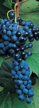 Today I learned that the University of Minnesota has a department that develops cold-weather grapes for wines. The University of Minnesota is responsible for creating Frontenac, Frontenac Gris, Crescent and Marquette. See their website for more details: www.grapes.umn.edu