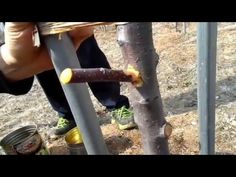 Grafting in T budding Autumn 14/ Altoirea T dorming toamna - YouTube
