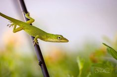 This little guy was in my hanging flower basket this morning ❤️ #photography #photographer #canont6i #canonphotography #100mm #macro #macrophotography #macro_mood #macro_mood #lizard #nature #naturelovers #naturalbeauty #wilmingtonnc #nc #instalike #instagood #instamood #ig_mood Natural Beauty from BEAUT.E