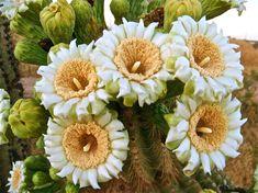 Natural Bouquet, saguaro blossoms