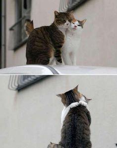 gatos amantes