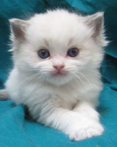 Ragdoll Cat | Pictures of Ragdoll Cats and Kittens