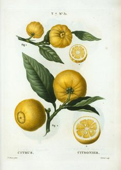 Citrus = Citronier. [2 clusters of citrus with leaves and some cut into half] From New York Public Library Digital Collections.