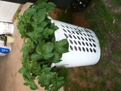 This is just a PICTURE. Put potato plant in old hamper. thought it was a good up cycle idea Laundry Hamper, Plastic Laundry Basket, Planting Potatoes, Best Ups, Garden Ideas, Upcycle, Projects To Try, Things To Think About, Backyard