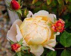 """~The Gardens of Petersonville: roses, """"Tamora"""""""